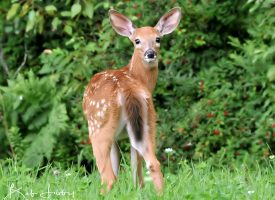 A Young Maine Deer