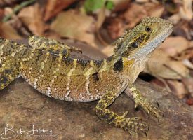 An Australian Eastern Water Dragon
