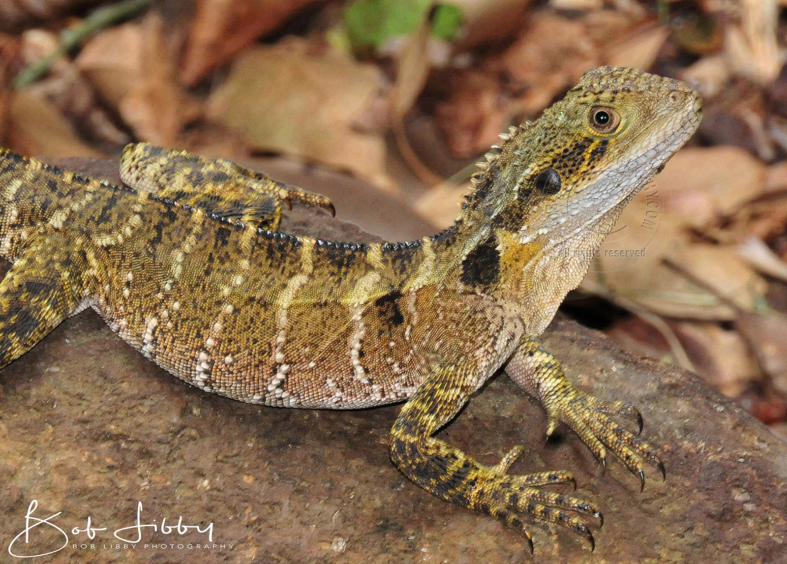 An Australian Eastern Water Dragon