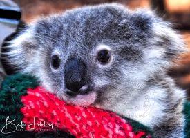 Australian Baby Koala