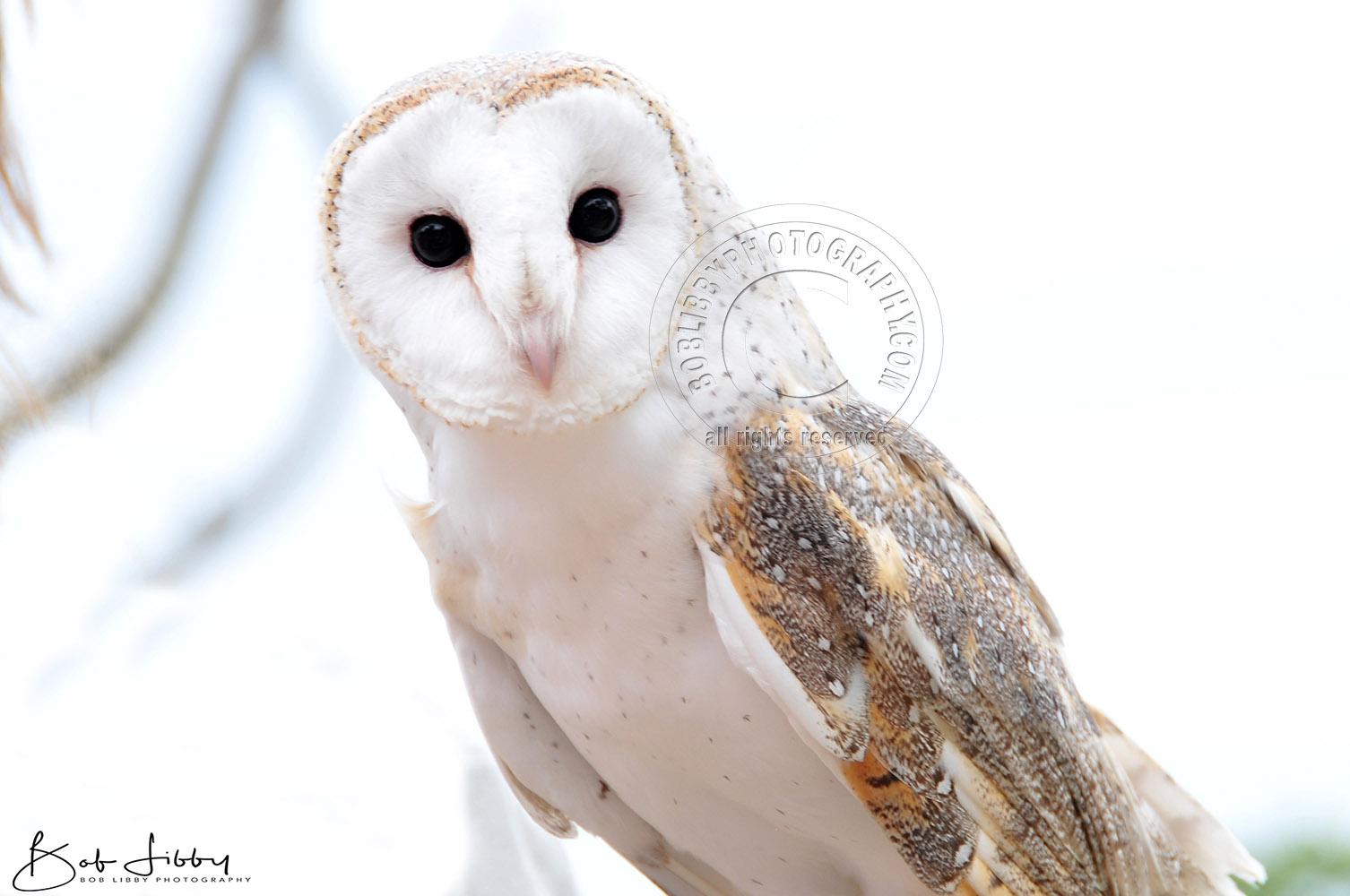 Young Australian Barn Owl