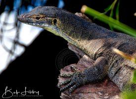 Australian Mertons Monitor Lizard