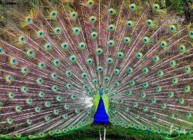Australian Peacock