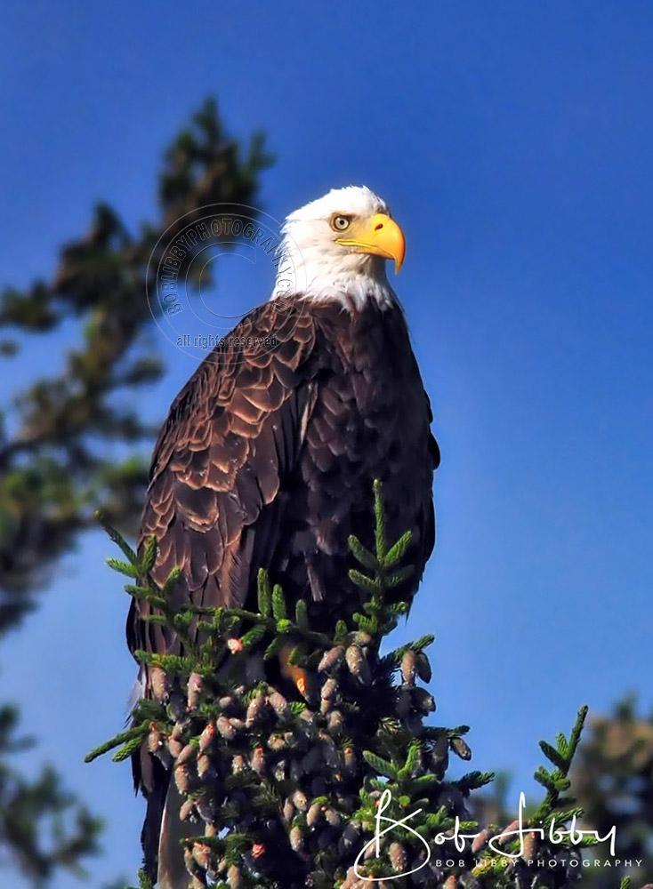 Bald Eagle, West Branch Pond