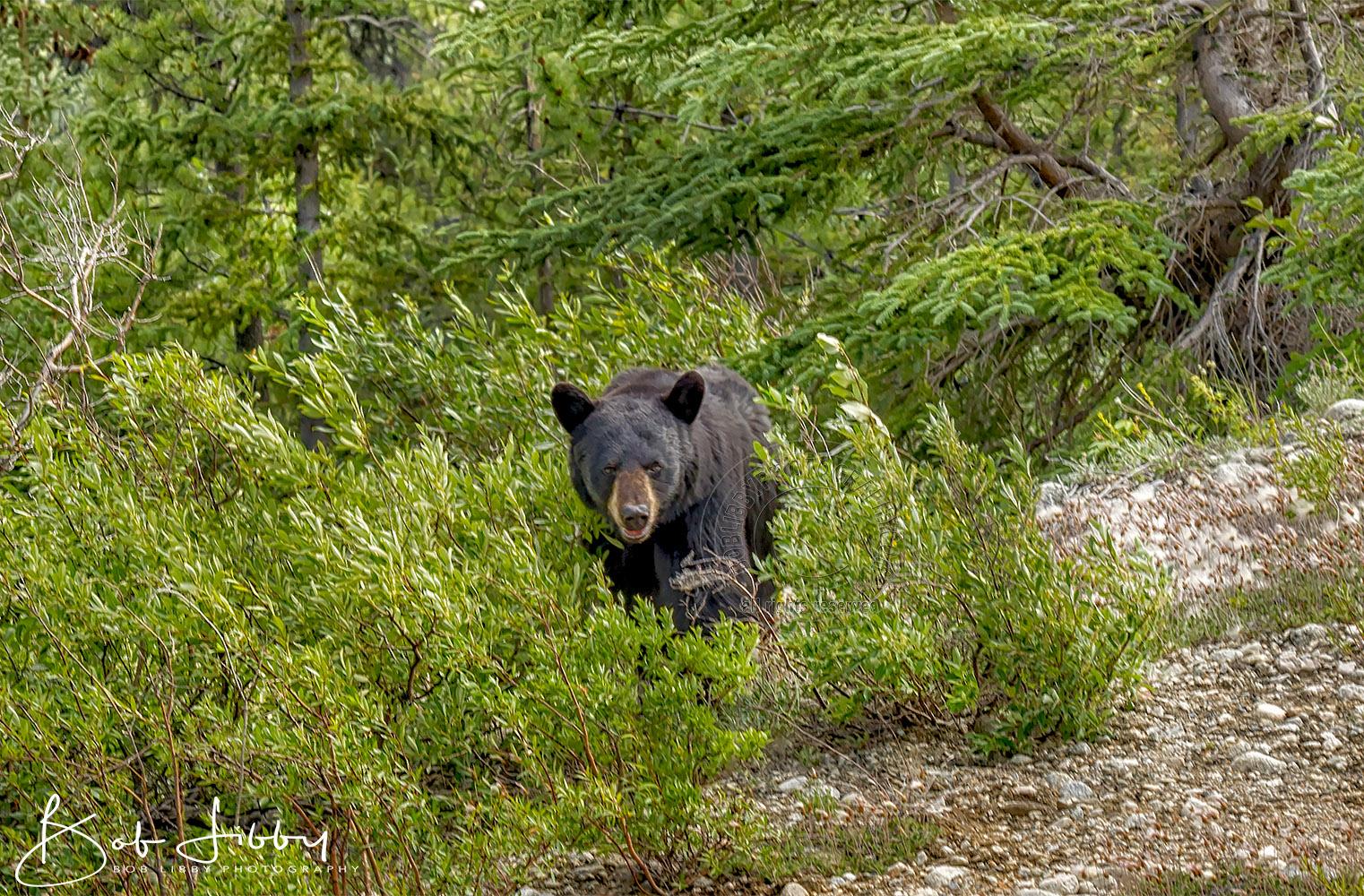 Black Bear - Maine