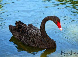 Black Swan Western Australia