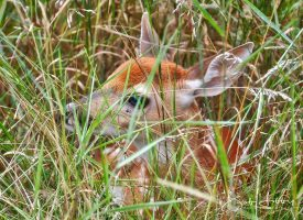 Camouflaged Whitetail Fawn