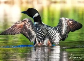 A Maine Common Loon