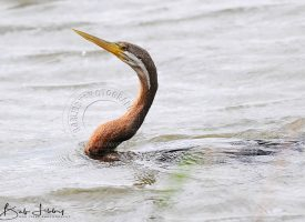 Darter or Snake Bird