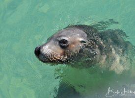 Esperance Sea Lion