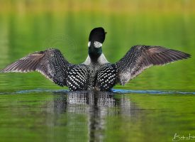 Loon Wing Span