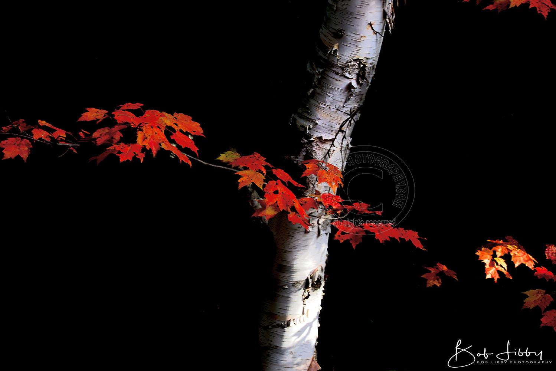 Maine Birch