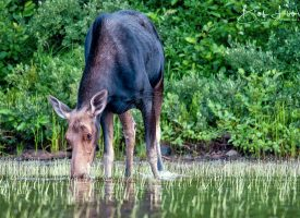 Maine Cow Moose Drinking