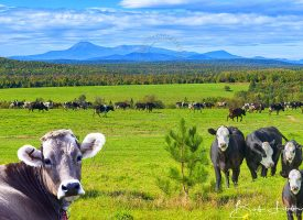 Maine Cows