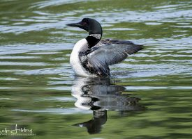 Common Maine Loon