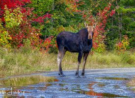 Maine Cow Moose