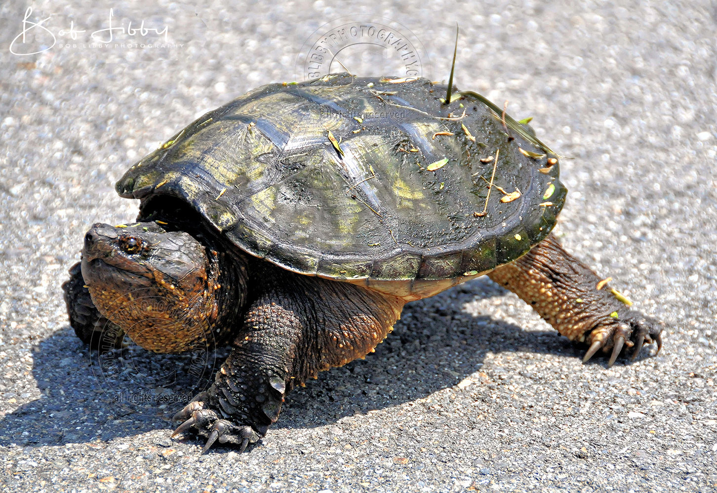 Maine Snapping Turtle