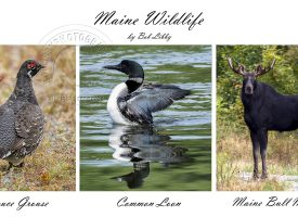 Maine Wildlife Series