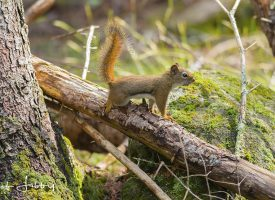 Maine Red Squirrel