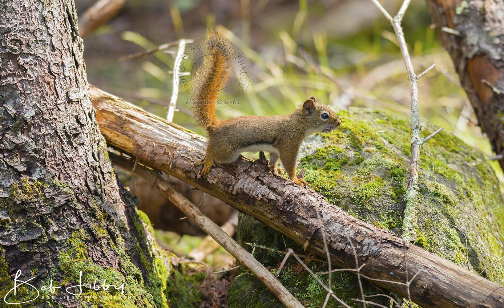 Maine Red Squirrel