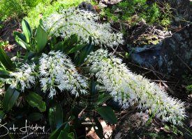 Rock Orchid