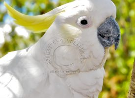 Silver Crested Cockatoo