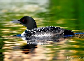 West Branch... Maine Loon