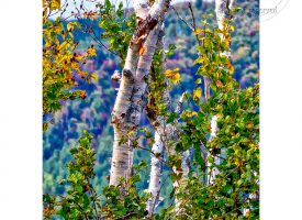 White Birches w White Border