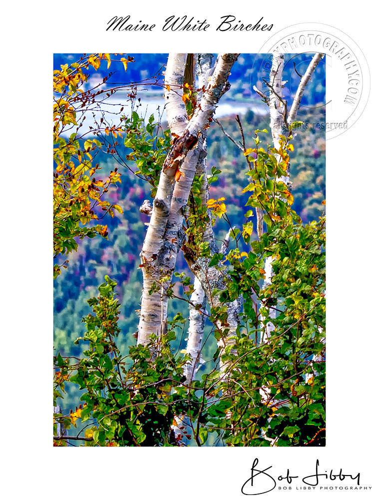 White Birches w White Border