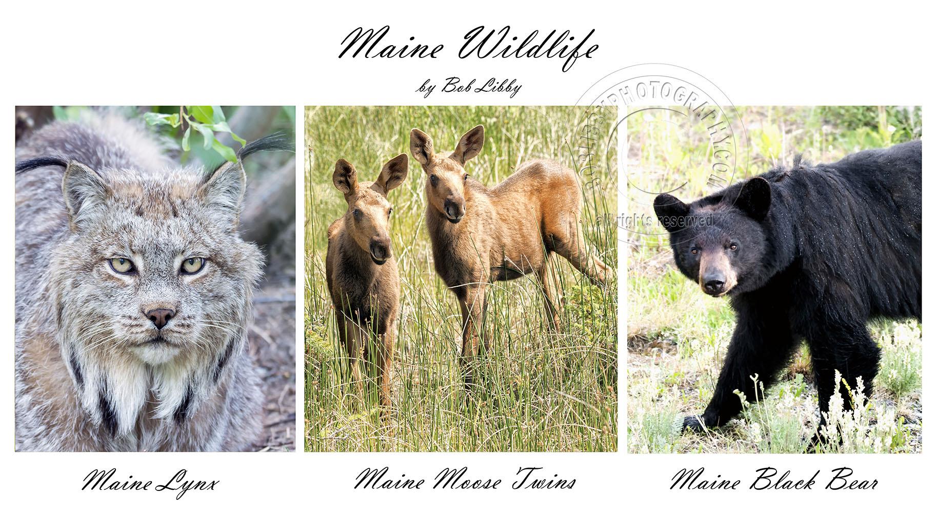 Wildlife Maine Series