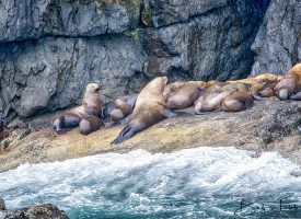 Alaskan Coast Sea Lion Colony