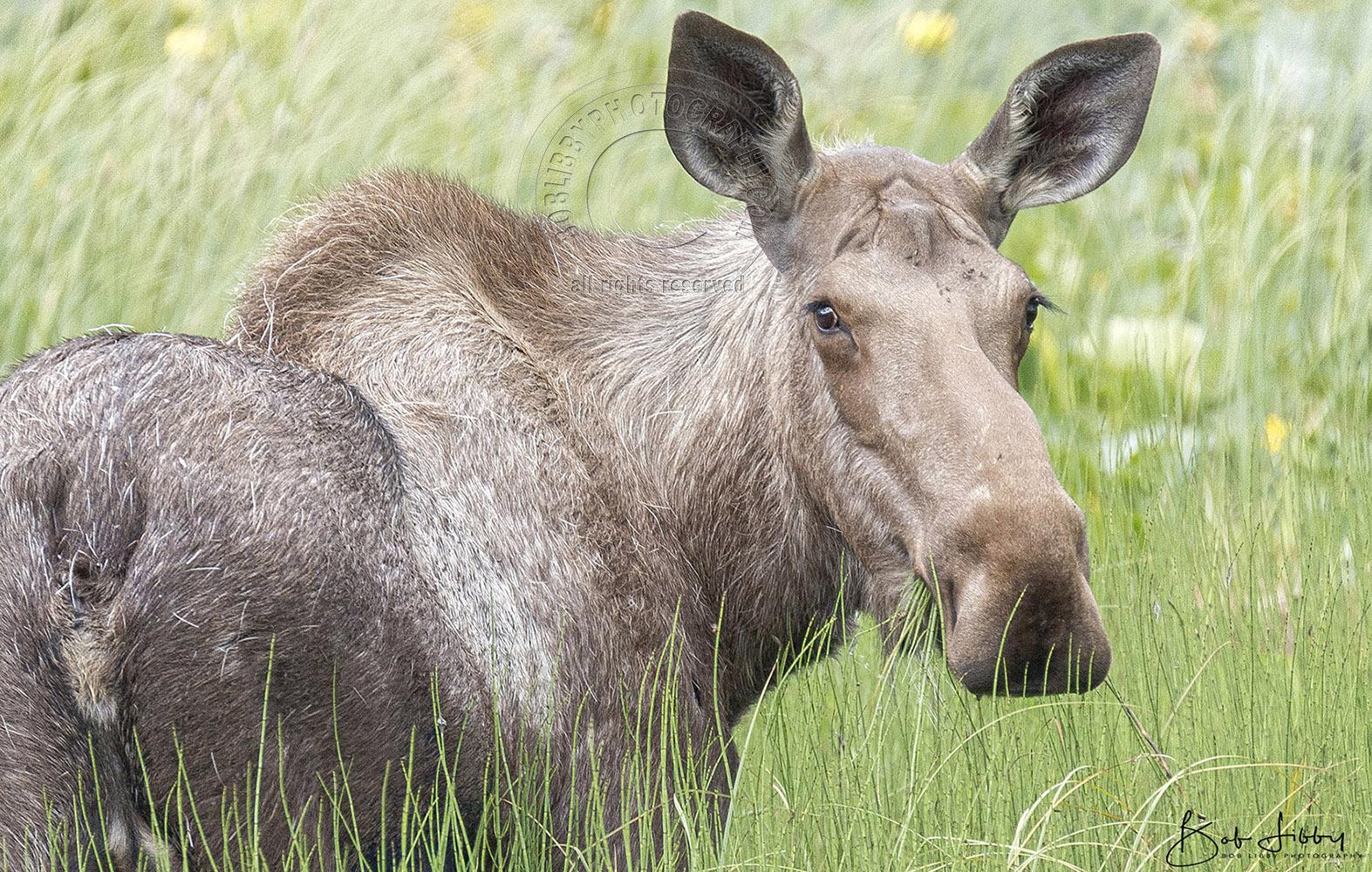 Alaskan Cow Moose