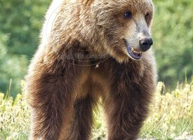 Alaskan Grizzly