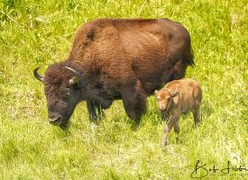 Alaskan Highway Wood Bison and Calf