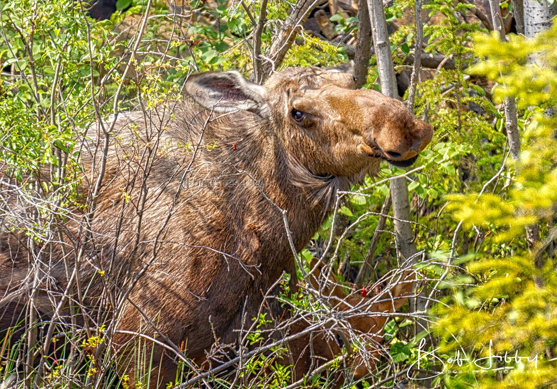 Alaskan Moose and Calf