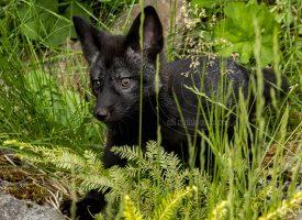 Alaskan Silver Fox