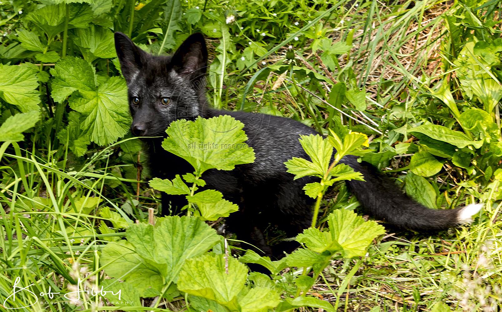 Baby Silver Fox