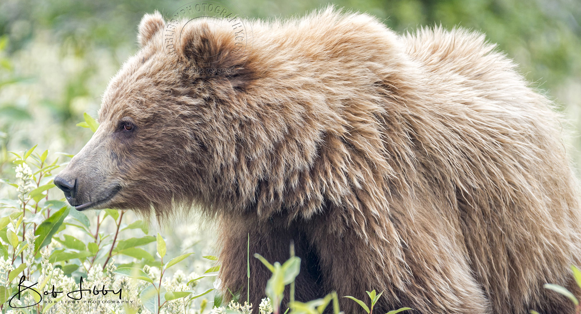 Beaver Creek Grizzly