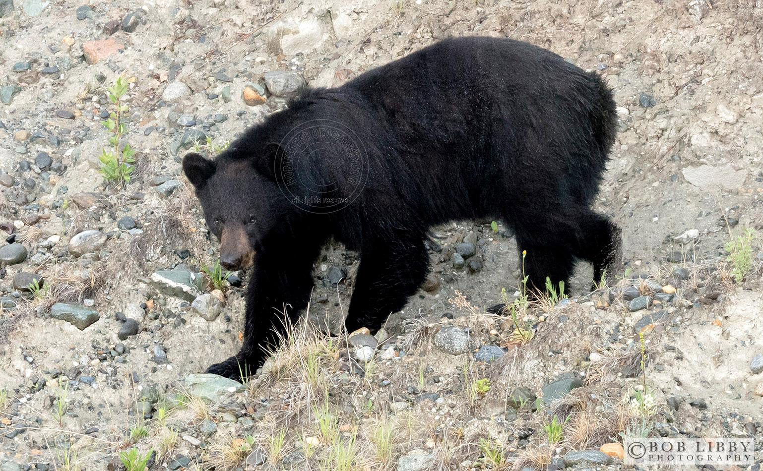 Black Bear Maine