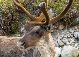 Caribou Head Shot