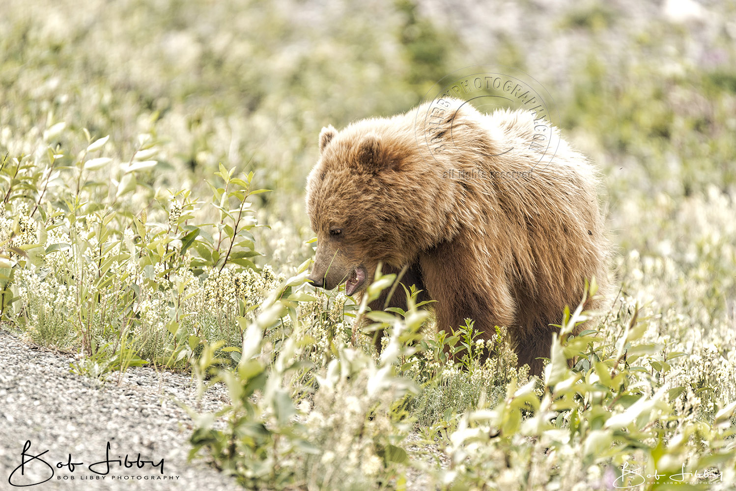 Roadside Grizzly