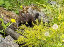 Young Alaskan Ermine