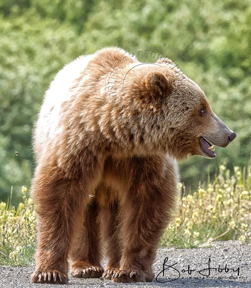 Grizzly Bear Alaskan Highway