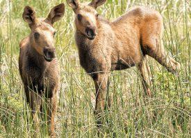 Alaskan Moose Twins
