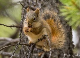 Red Squirrel British Columbia