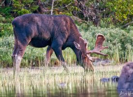 The Powerful Bull Moose