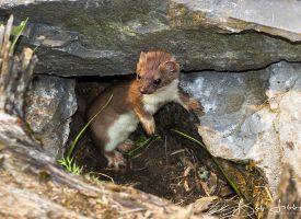 Alaskan Weasel