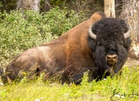 British Columbia Wood Bison