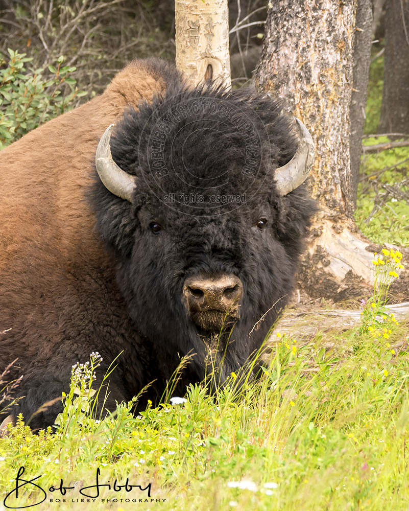Wood Bison Headshot