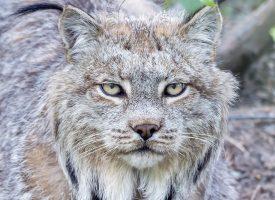 Yukon Lynx